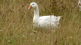 A goose. In big detail in Central Bohemia Royalty Free Stock Images