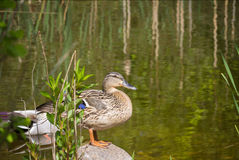 Duck on biotope Royalty Free Stock Images