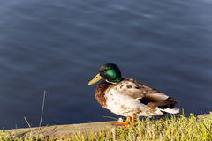 Duck on the birch Royalty Free Stock Images