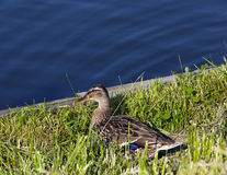 Duck on the birch Royalty Free Stock Photo