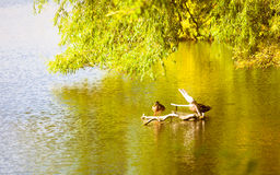 Duck bird animal on lake river. Wildlife in natural environment. Royalty Free Stock Photos
