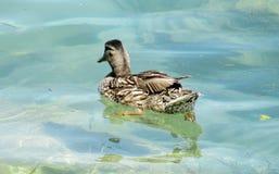 Duck bird Stock Images