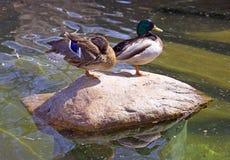 Duck bird drake vertebrate wild duck Stock Image