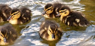 Duck, Bird, Ducks Geese And Swans, Water Bird stock photography