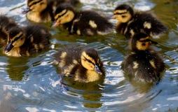Duck, Bird, Ducks Geese And Swans, Water Bird Stock Photos