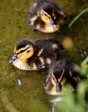 Duck, Bird, Ducks Geese And Swans, Water Bird Stock Photo
