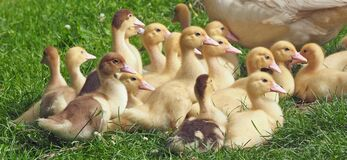 Duck, Bird, Ducks Geese And Swans, Water Bird Royalty Free Stock Image