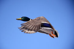 Duck Bird Flight Stock Image