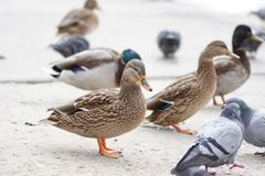 Duck bird fowl nature fauna wildlife plumage. On the lake pigeon feather nature royalty free stock photo