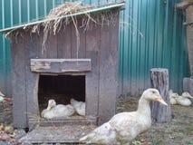 Duck. Bird garden Royalty Free Stock Photos
