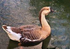 Duck Bird grande que se relaja en la charca salvaje Fotos de archivo