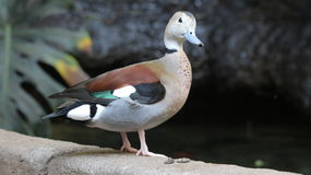 Duck at Bird Kindgom Aviary in Niagara Falls, Canada Royalty Free Stock Images
