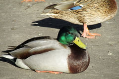 Duck bird male with green head lying Royalty Free Stock Image