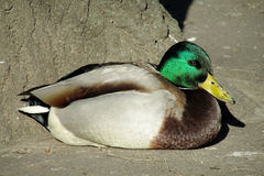 Duck bird male with green head lying Royalty Free Stock Photo