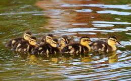 Duck, Bird, Mallard, Ducks Geese And Swans