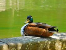 Duck, Bird, Mallard, Fauna Royalty Free Stock Photo