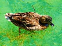 Duck, bird, mallard, nature, water, animal, wildlife, lake, grass, wild, green, beak, brown, feather, pond, ducks, feathers. Duckling, wing, swim, swimming Royalty Free Stock Image
