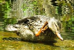 Duck, Bird, Mallard, Water Royalty Free Stock Images