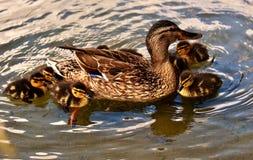 Duck, Bird, Mallard, Water Bird Stock Images