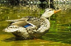 Duck, Bird, Mallard, Water Bird Stock Photos