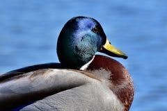 Duck, Bird, Mallard, Water Bird Royalty Free Stock Images