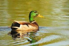 Duck, Bird, Mallard, Water Bird Royalty Free Stock Photos