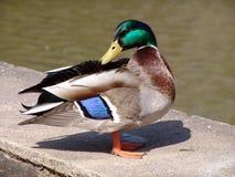 Duck, Bird, Mallard, Water Bird Stock Photo