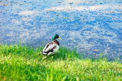 Duck bird sitting on shore of pond. royalty free stock photography