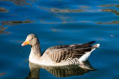 Duck bird swim in lake. White and gray duck bird swimming in blue green pond water. Duck birds swim in lake. Duck bird in the nature Stock Images