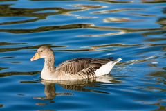 Duck bird swim in lake. White and gray duck bird swimming in blue green pond water. Duck birds swim in lake. Duck bird in the nature Royalty Free Stock Images