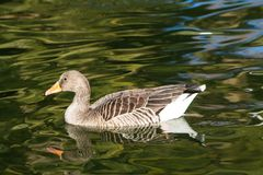 Duck bird swim in lake. White and gray duck bird swimming in blue green pond water. Duck birds swim in lake. Duck bird in the nature Stock Image