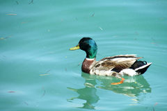 Duck bird swiming. Gray brown feather and green head duck bird solo swiming in the water, in a lake Stock Image