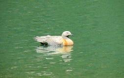 Duck bird swiming Stock Photo