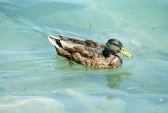 Duck bird swiming Stock Images
