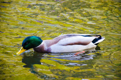 The duck bird in the water Stock Photo