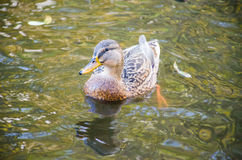 The duck bird in the water Royalty Free Stock Photo
