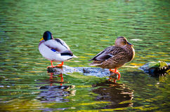 The duck bird in the water. In the autumn park Stock Photo