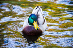 The duck bird in the water Stock Images