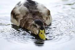 Duck, Bird, Water Bird, Fauna royalty free stock photo