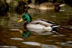 Duck, Bird, Water, Mallard Royalty Free Stock Images