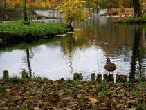 duck bird water lake park garden nature trees reflection outdoor autumn leaves Stock Photos