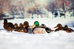 Duck Bird Winter Lake snow background. Walking Royalty Free Stock Image