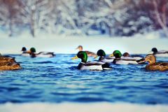 Duck Bird Winter Lake snow background. Walking Royalty Free Stock Photography
