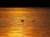 Duck Birds Silhouette During Sunset over Mooi Meer met Bewolkte Hemel op achtergrond Stock Foto's