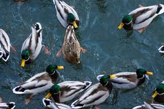Duck birds swim in lake. White and gray duck bird swimming in blue green pond water. Duck birds swim in lake. Duck bird in the nature Stock Photos