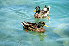 Duck birds swim in water. White and gray duck bird swimming in blue green pond water. Duck birds swim in lake stock photography