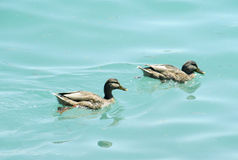 Duck birds swim in water Royalty Free Stock Photography