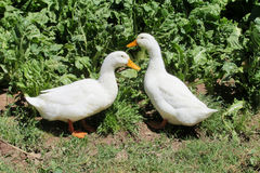 Duck birds Royalty Free Stock Image