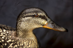 A duck in the black. Lake in background royalty free stock image