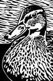 Duck. Black and white mallard duck linocut print illustration Stock Photography